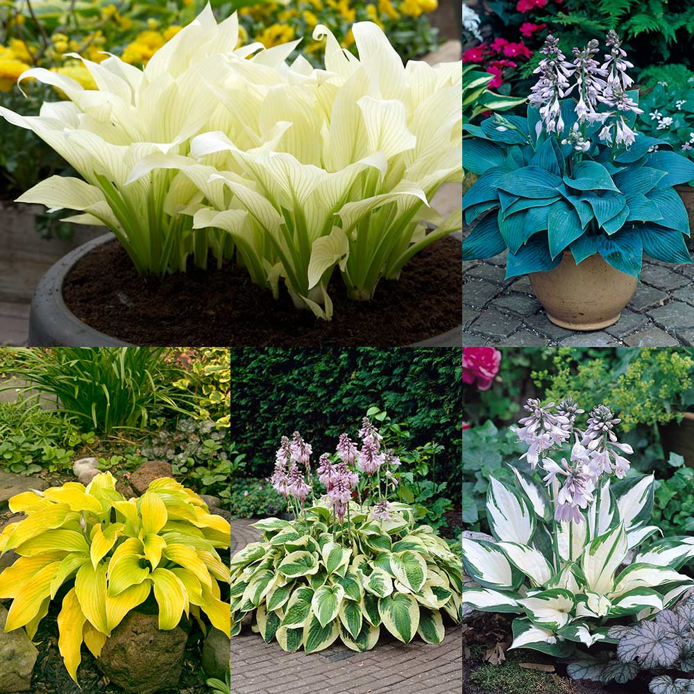 Product image for Designer Hosta Collection