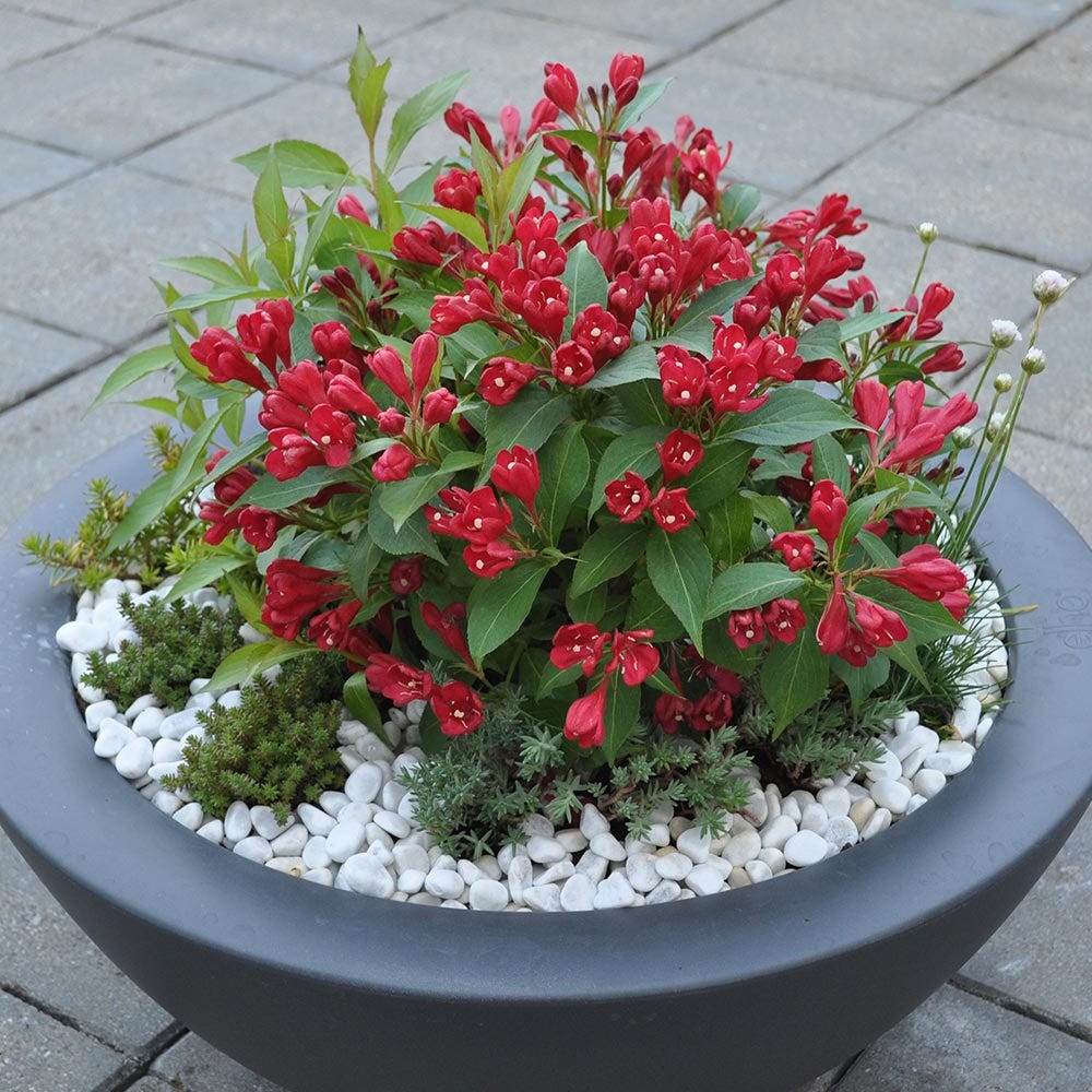 Product image for Weigela All Summer Red