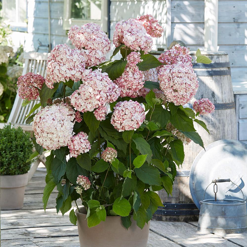 Product image for Hydrangea Arborescens Candybelle Bubblegum