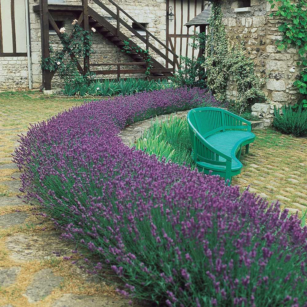 Image of Dwarf Lavender Munstead-6 Pack