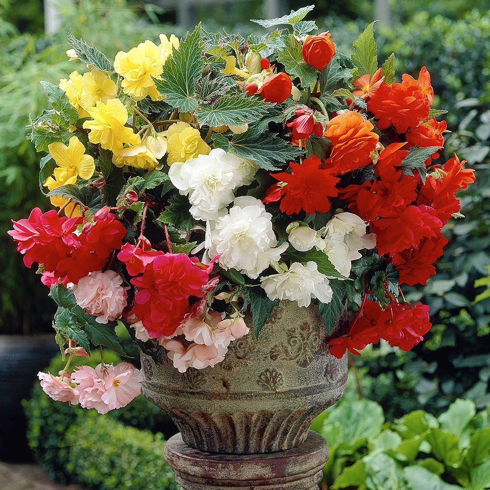 Product image for 10 Cascading Begonias Mixed