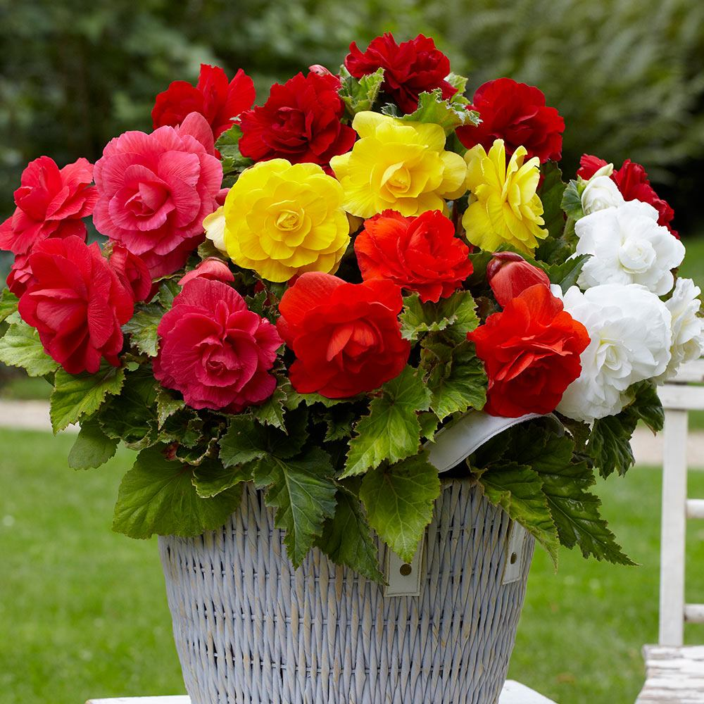 Product image for 10 Double Begonias Mixed