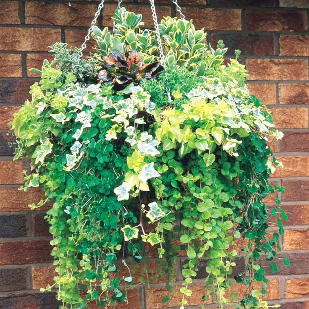 Evergreen Foliage Plants