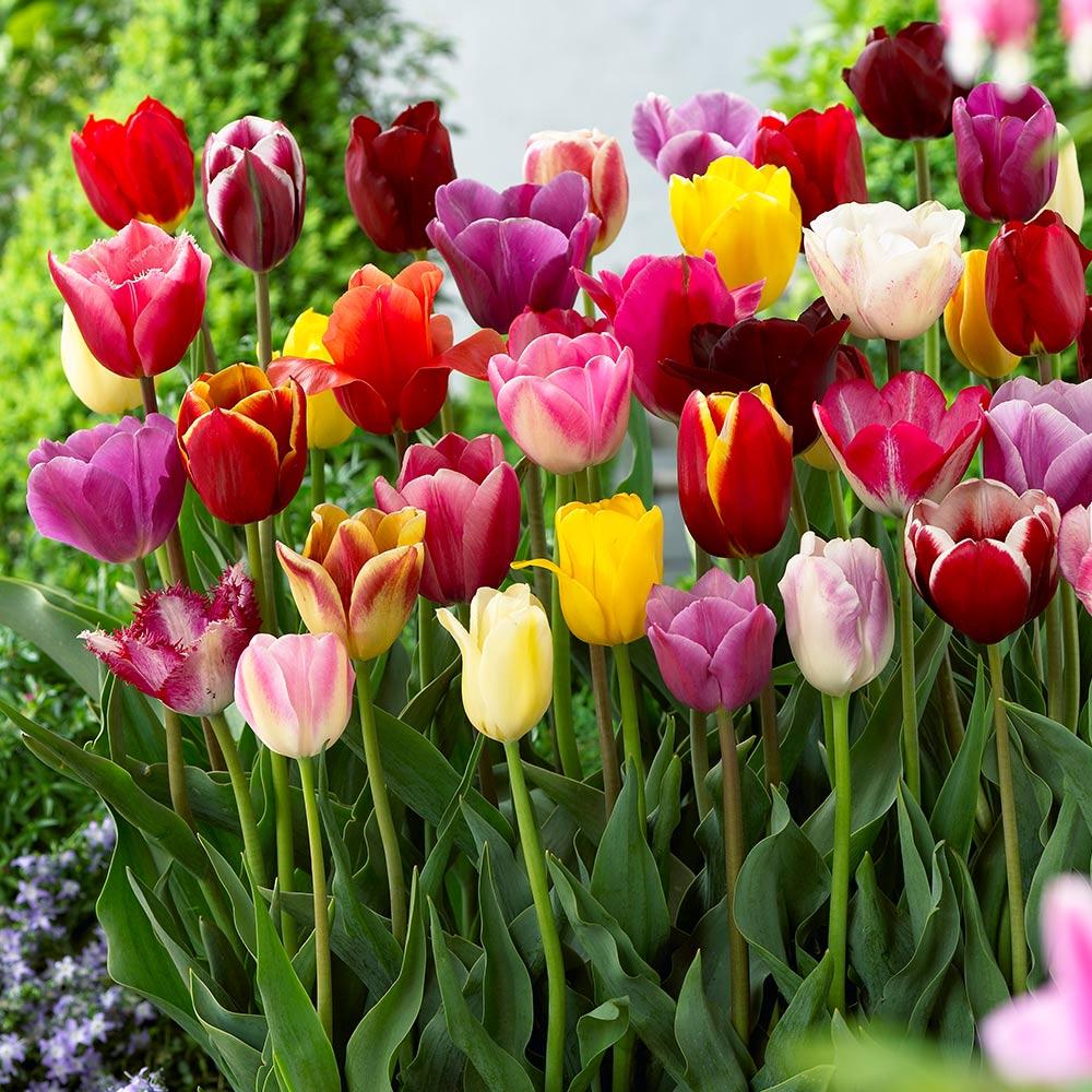 Triumph Tulips Mixed