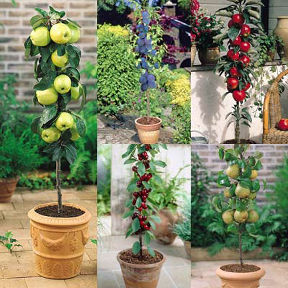 Image of 5 Miniature Fruit Tree Collection