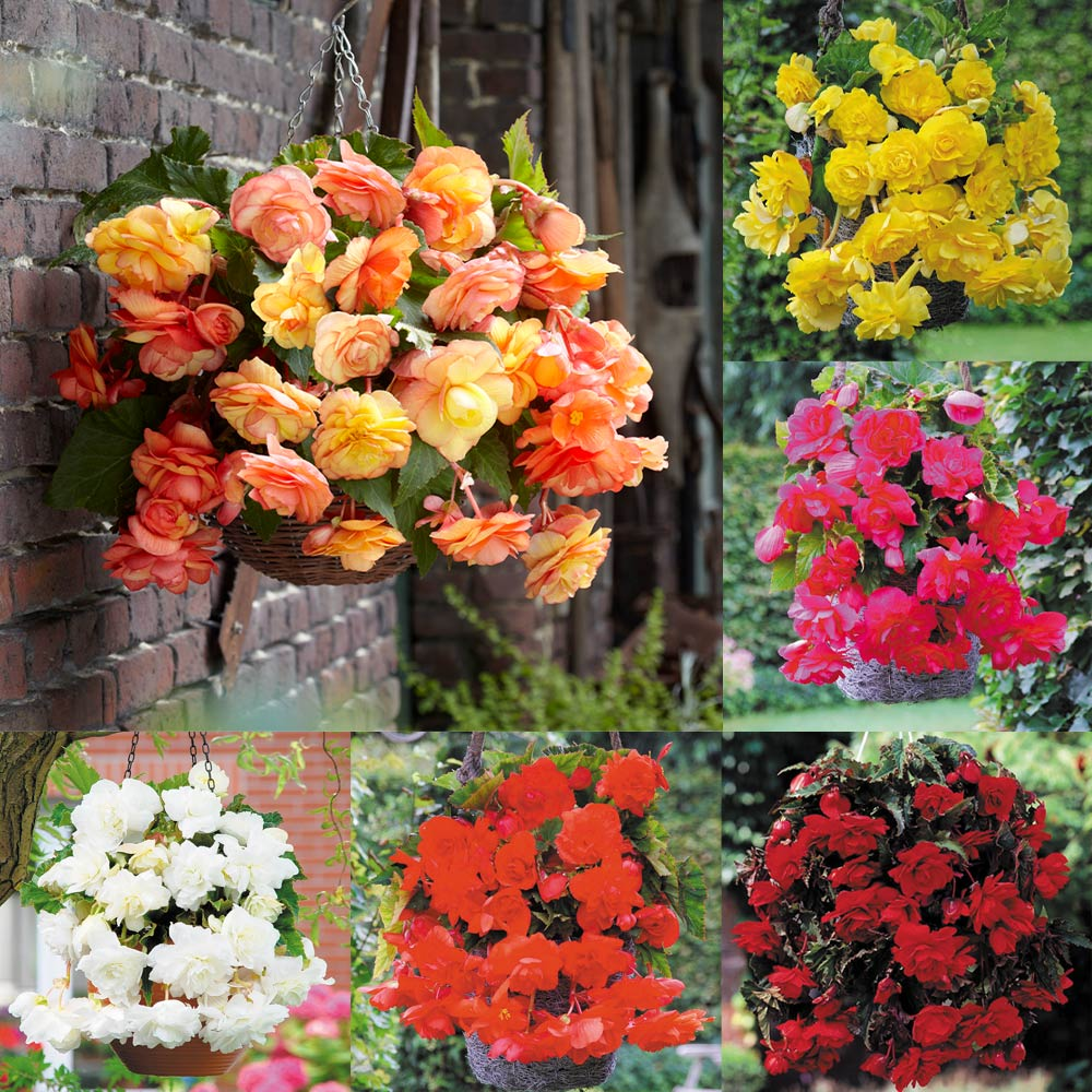 Product image for 18 Begonia Cascading Collection
