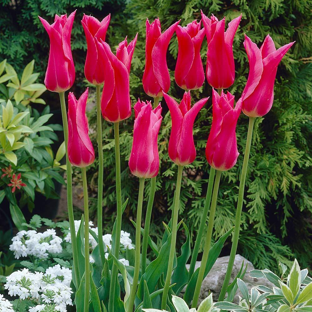 10 Tulip Mariette