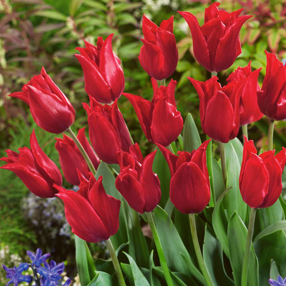 10 Tulip Pretty Woman