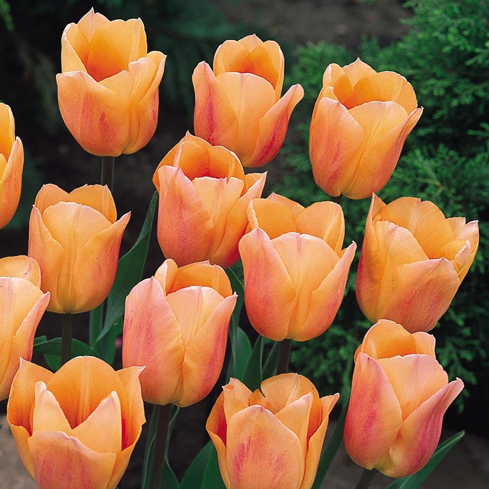 Tulip Apricot Beauty 11/12cm