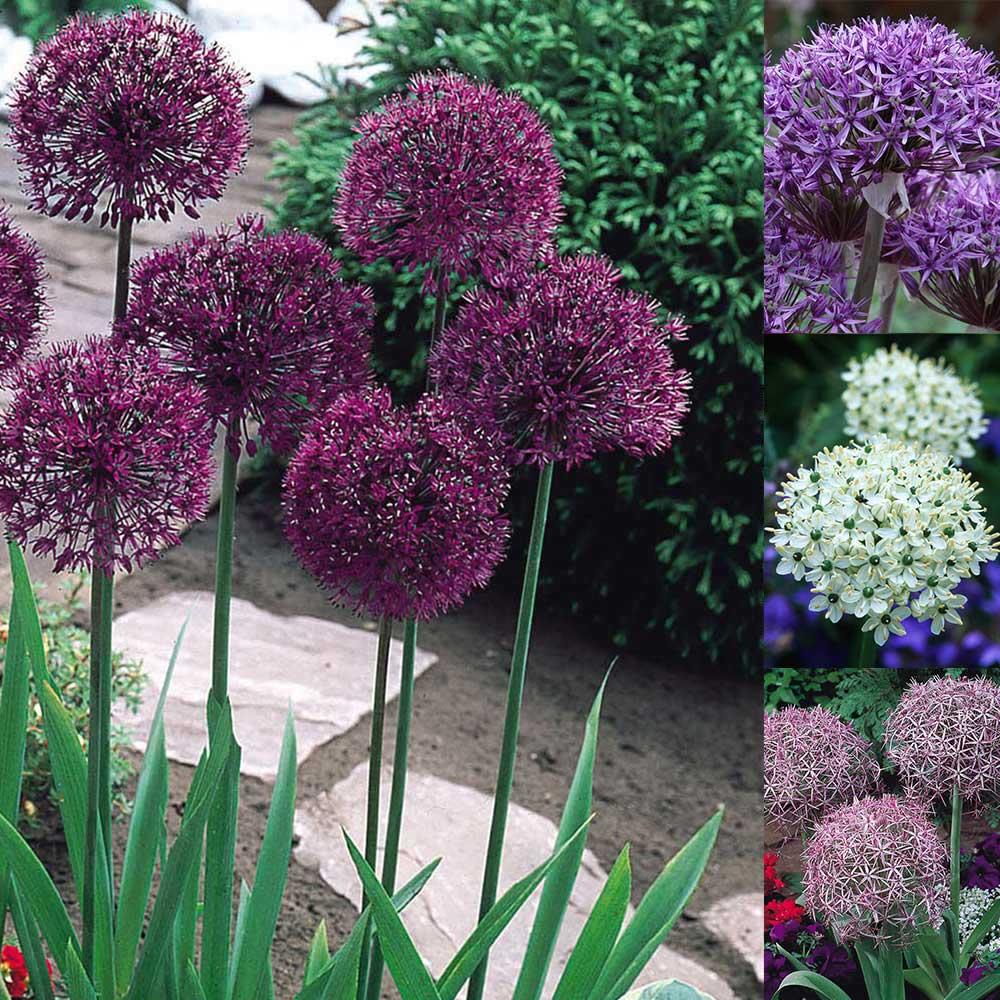 60 Allium Designer Collection