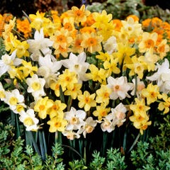 Narcissi Jonquilla Mixed