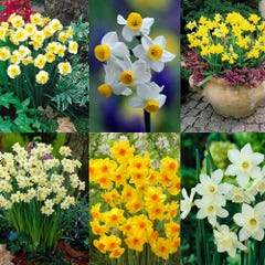 120 Dwarf Rockery Narcissi Collection