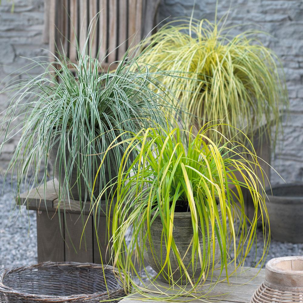 3 Designer Carex Collection