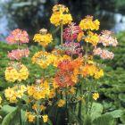 Primula Candelabra Mixed