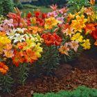 Short Stemmed Lilies