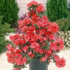 Diamond Azalea Red