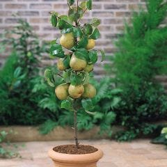 Dwarf Pear Lilliput