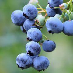 Blueberry Gold Traube  (Mid-Season Fruiting)