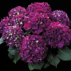 Purple Prince Hydrangea