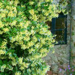 Trachelospermum Star of Toscane