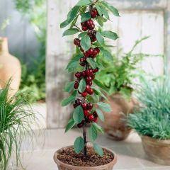 Prunus Cherry Sylvia