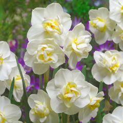 Daffodil Cheerfulness