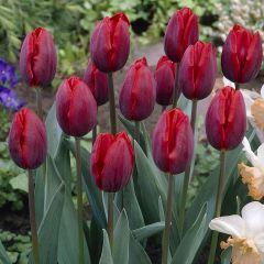 10 Tulip Couleur Cardinal