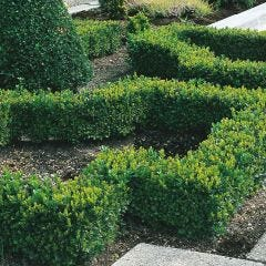 Box Hedging (Buxus)