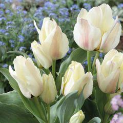 15 Tulip Albion Star