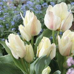10 Tulip Albion Star