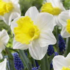 Daffodil Holland Sensation