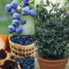 3 Blueberry Collection