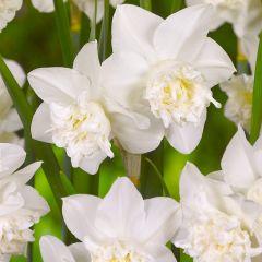 Daffodil White Marvel