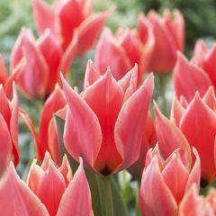 15 Tulip Calypso