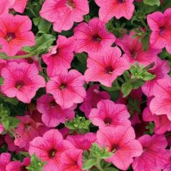 6 Trailing Surfinia Hot Pink