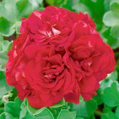6 Geranium Double Red
