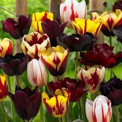 Tulip Burgundy Mixed