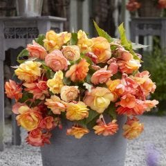 Begonia 'Apricot Cascades'