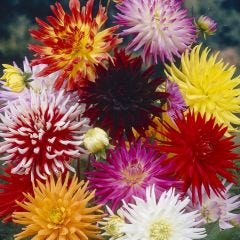 Cactus Dahlias Mixed