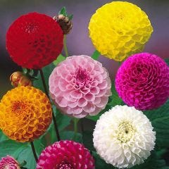Pompom Dahlias Mixed
