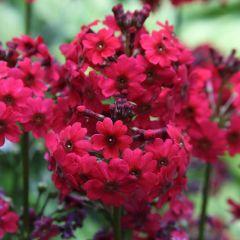 6 Primula japonica Miller's Crimson