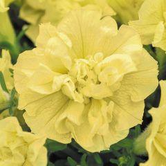 6 Surfinia Double Yellow (Tumbelina Susanna)
