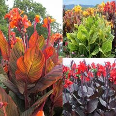 3 Canna Tropicanna® Collection