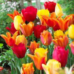 Tulip Orange Blend