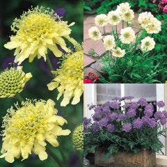 9 Scabiosa Perpetual Flowering Collection
