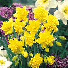 25 Daffodil Golden Ducat