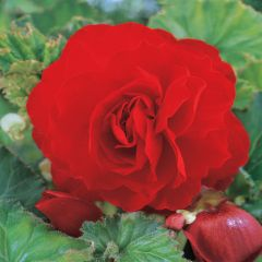 5 Begonia Double Red
