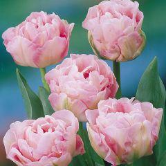 10 Tulip Angelique