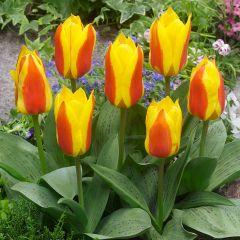 15 Tulip First Love