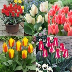 75 Tulip Greigii Collection